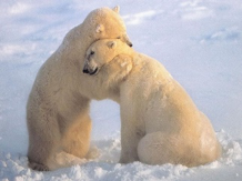 Two polar bears hugging - example of oxytocin
